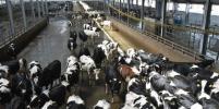 В Новосибирской области запущен крупный молочный комплекс