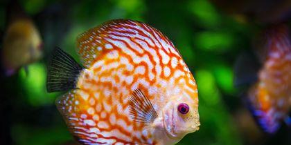 Учёные: Рыбы тоже могут испытывать любовные страдания
