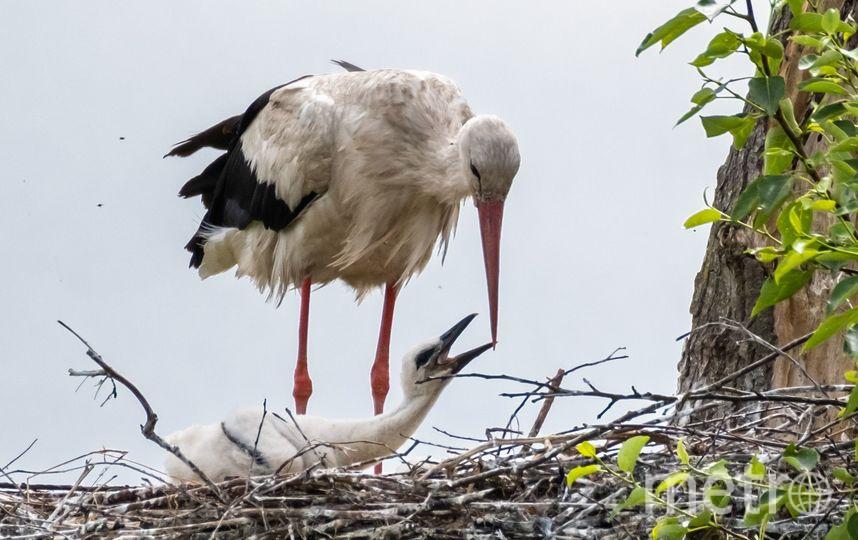 """2 месяца нужно, чтобы выкормить и научить летать аистёнка. Фото Алена Бобрович, """"Metro"""""""