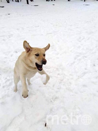 Я Лабрадор из Москвы. Я ласковая и дружелюбная собака, но иногда я выгляжу страшно. Смотрите и бойтесь! Фото Павел