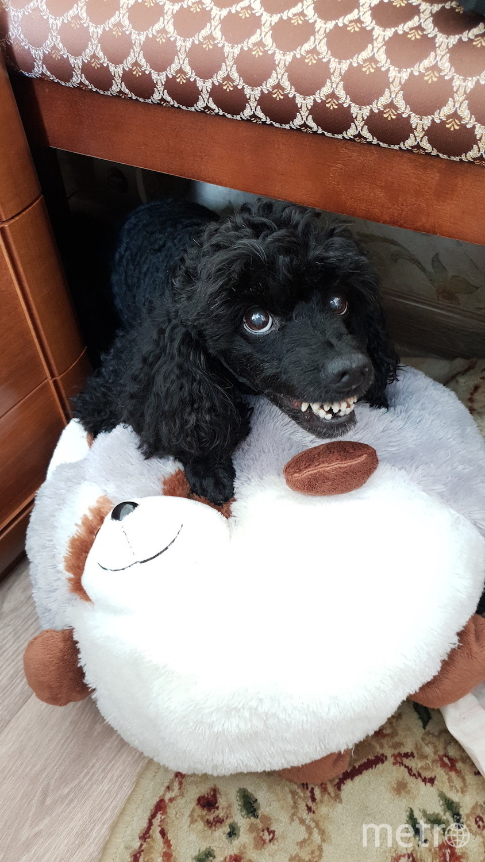 Собаку зовут Веня (от слова веник, 12 лет назад ,когда он был маленьким щенком весь мусор с пола к нему прилипал ) , это очень уравновешенный и умный пудель. Фото Александр