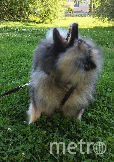 """Мою собаку зовут Фанни, ей 2 года, порода кеесхонд (волфшпиц). Она очень позитивная, ласковая и добрая, очень подвижная, но может и показать зубки своим собратьям. Фото Юлия, """"Metro"""""""