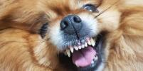 Собаки Баскервилей покорили сердца москвичей