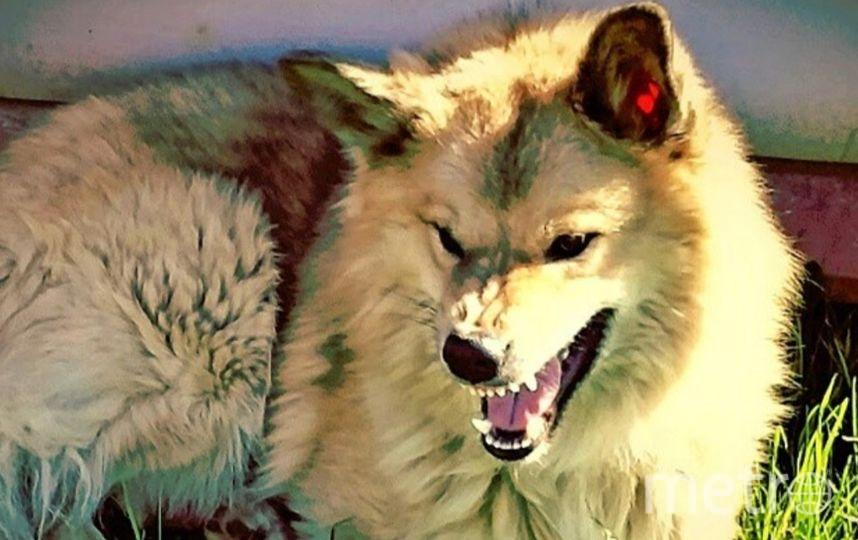 Это наш любимый и самый добрый волчонок АЛЬФ (метис лайки и кавказкой овчарки) Любит по лежать в тенёчке, но когда кто-то пытается этому мешать и у него плохое настроение... берегитесь соседские собаки. Фото Александр
