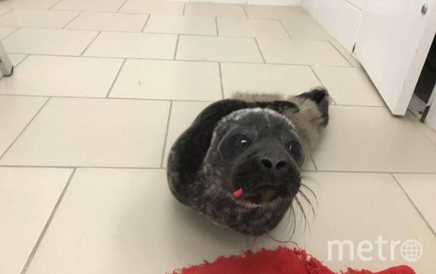 Вот таким крохой он поступил на реабилитацию 15 апреля с крючком в губе. Фото Фонд друзей балтийской нерпы, vk.com