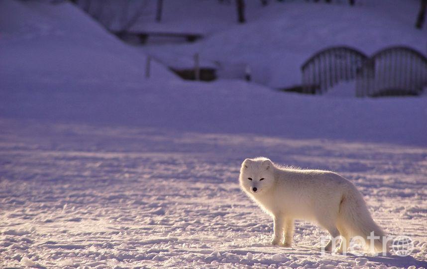 Полярная лисица преодолела более 3500 км за два с половиной месяца. Фото pixabay.com