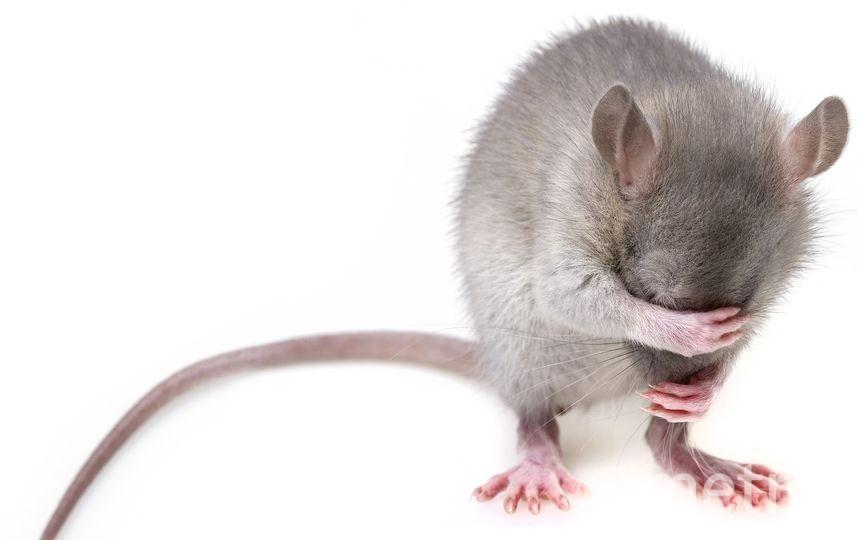 к концу исследования учёным успешно удалось уничтожить вирус у 9 мышей из 23. Фото pixabay.com