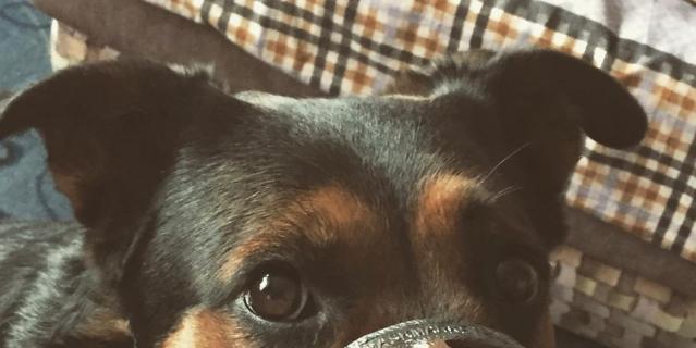 Собака в наморднике.