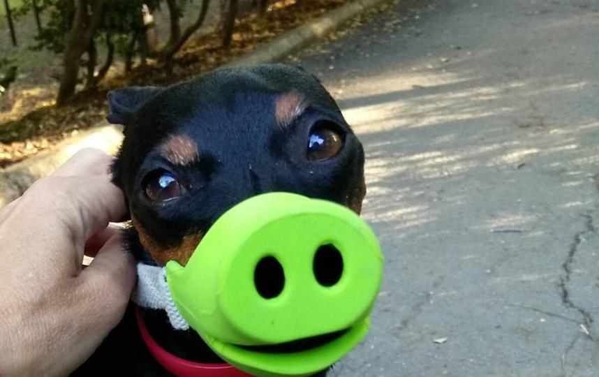 Собака в наморднике. Фото Instagram: @iriskaoza