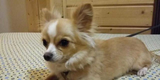 Эту крошку зовут Мося, ей 3.5 года. Весит меньше 2-х килограмм и при этом она гроза всего района! Она кидается не только на местных кошек и собак (особенно больших), но и на случайных прохожих. Настоящая собака Баскервилей!