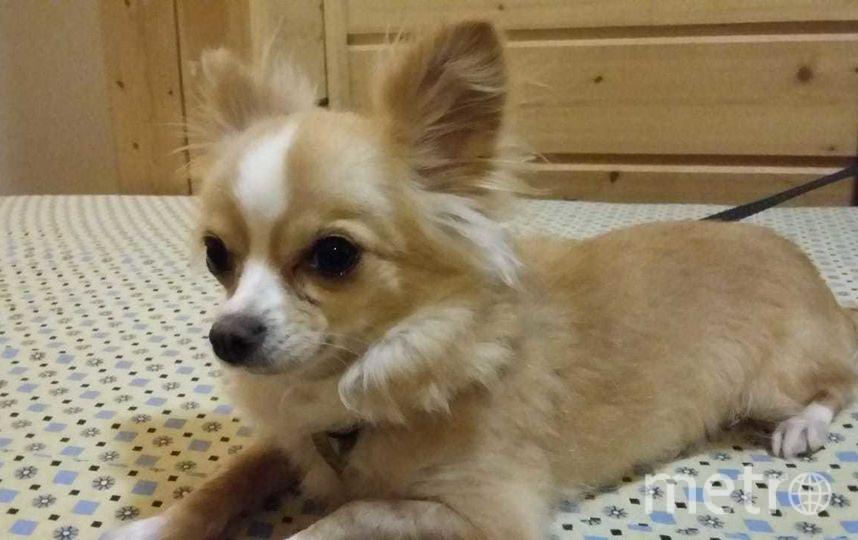 """Эту крошку зовут Мося, ей 3.5 года. Весит меньше 2-х килограмм и при этом она гроза всего района! Она кидается не только на местных кошек и собак (особенно больших), но и на случайных прохожих. Настоящая собака Баскервилей! Фото Антон, """"Metro"""""""