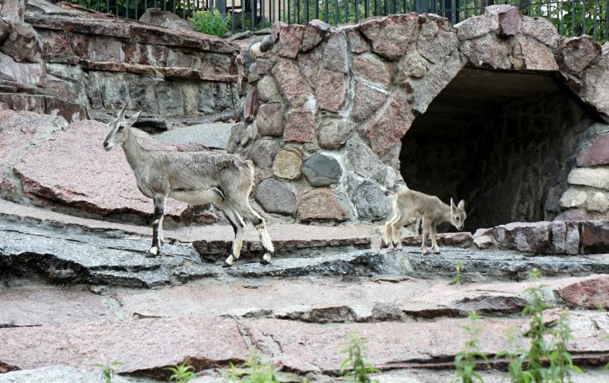 пары редких голубых баранов в Московском зоопарке родился детёныш. Фото mos.ru