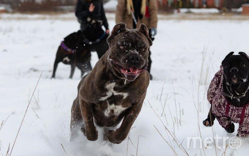 """Итальянский Кане Корсо по кличке Прайд Нас не раз называли собакой Баскервилей, особенно в темное время суток). Фото """"Metro"""""""