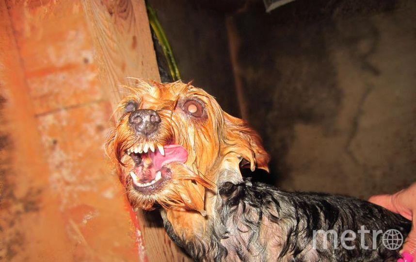 """Это ласковый йоркширский терьер.Но!Она очень """"любит"""" мыться в бане.Если поймать ее во дворе-это счастье, а если успеешь выбежать с бани -ты герой! Наша девочка Чита!!! Фото -- Петрова Анжелика, """"Metro"""""""