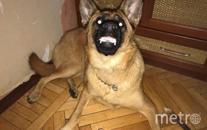 """Это наша любимая собака ХАна! Когда мы её взяли щенком всем наступила ХанА, дом разрушен, обувь съедена. Но её голливудский оскал покарил наши сердца. Любовь наша к ней безгранична!!! Фото Хозяйка Елена Осипова, """"Metro"""""""