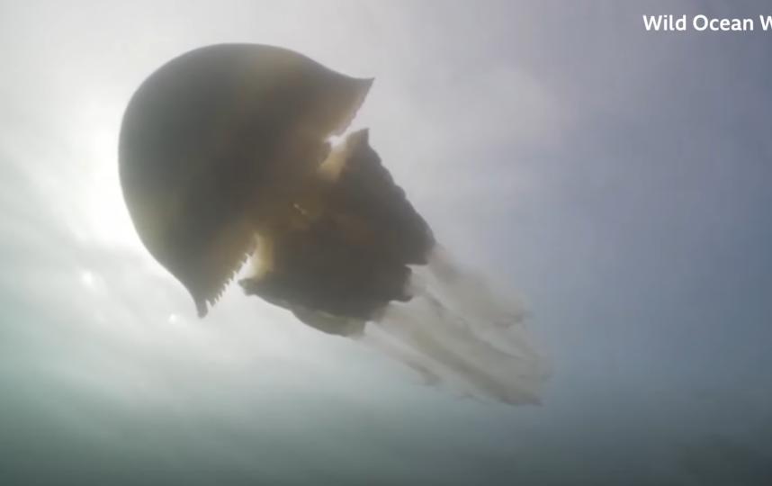 У берегов английского графства Корнуолл обнаружена огромная медуза размером с человека. Фото Скриншот https://www.youtube.com/watch?v=cZT-_VbKBuc, Скриншот Youtube