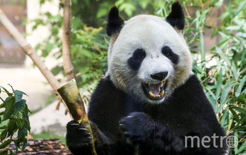 В пекинском зоопарке туристы забросали панду камнями. Фото AFP