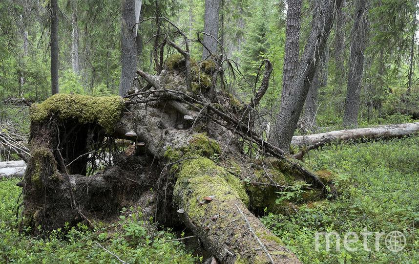 Первозданный еловый лес. Фото предоставлено WWF