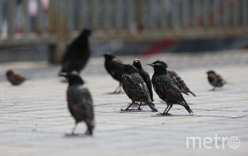 На платформе Царицыно не смолкает чириканье скворцов. Фото Василий Кузьмичёнок