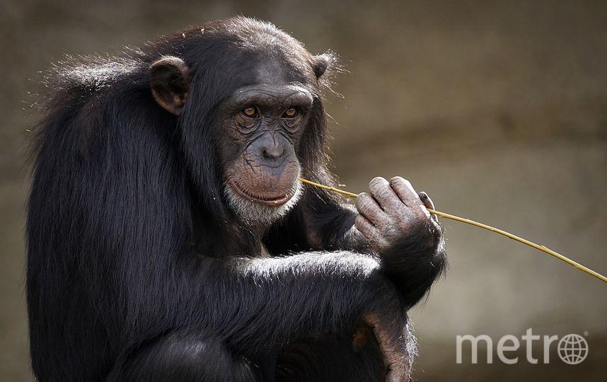 Согласно последним исследованиям, совместный просмотр кино объединяет шимпанзе. Фото pixabay.com