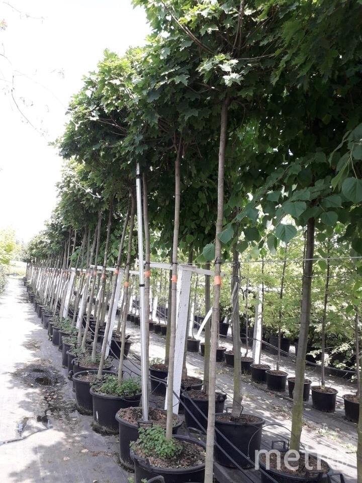 Клёны Globosum будут закупаться в питомниках Северо-Запада. Дерево должно быть взрослое. Фото mytndvor, vk.com