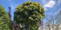 Петербуржцы вернут деревья в центр города за свой счёт