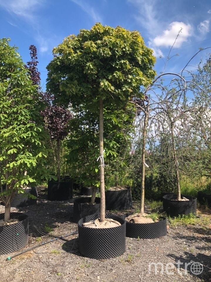 Так выглядит взрослый клён Globosum. Согласно дендроплану именно этот вид клёна важно сажать на площадь Восстания. Фото mytndvor, vk.com