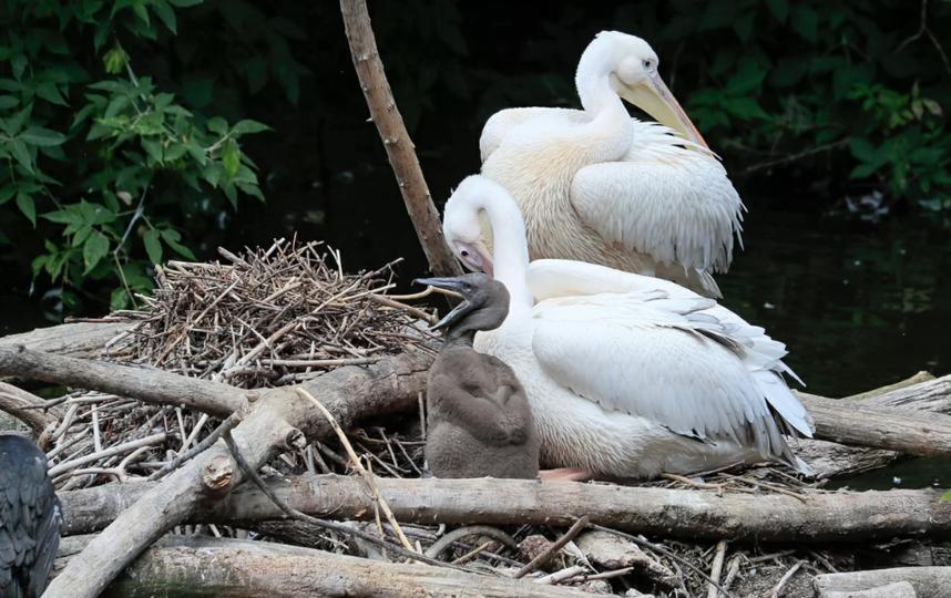 Птенец розового пеликана появился на свет в Московском зоопарке. Фото mos.ru