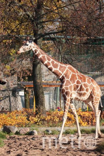 "Cетчатый жираф Соня. Фото ""Metro"""