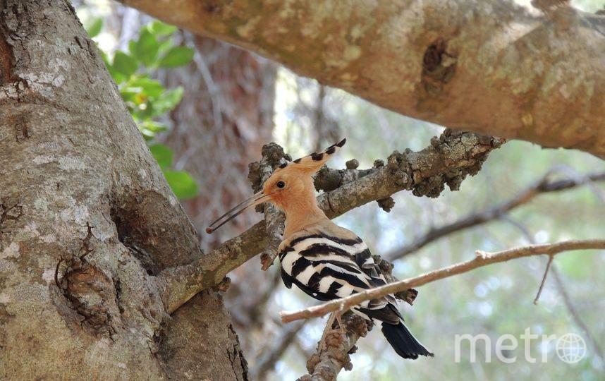 """Удод иногда встречается в южных районах области. Фото vk.com/birdstourspb, """"Metro"""""""
