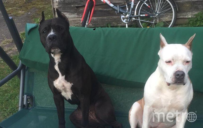 """Меня зовут Станислав, клички двух этих очаровательных собак Баскервилей ( слева направо) Буся и Тутта. По отдельности они обе милы, но в союзе это как Бони и Клайд в собачьем обличии :) Пока никого нет, могут забраться, на запрещённый для них лежак, украсть со стола вкусняшку, пока никто не видит, либо облаять соседей. Фото """"Metro"""""""