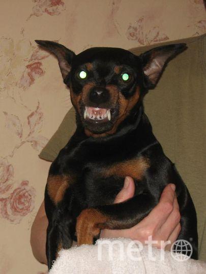 """Цвергпинчер Бэтти, добрая и ласковая. Но при необходимости превращается в собаку Баскервилей. Фото Марина, """"Metro"""""""