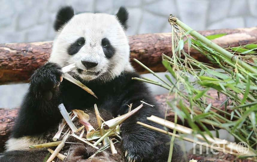 Панды в Московском зоопарке. Фото mos.ru