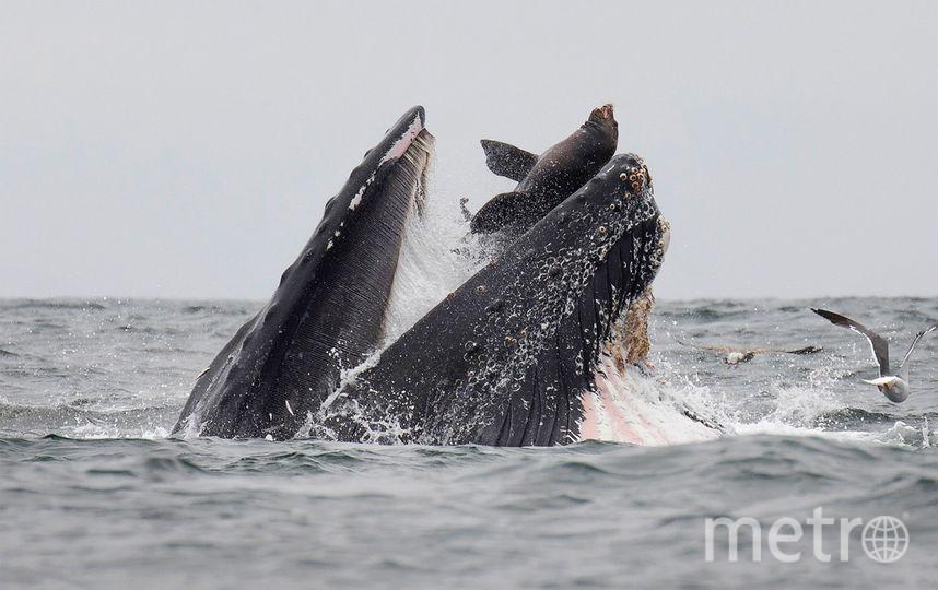 Уникальный кадр запечатлил 27-летний морской биолог и фотограф-натуралист Чейз Деккер. Фото AFP