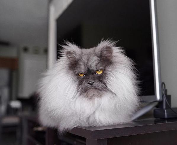 Злой кот Джуно. Фото скриншот: instagram.com/junotheangrycat/