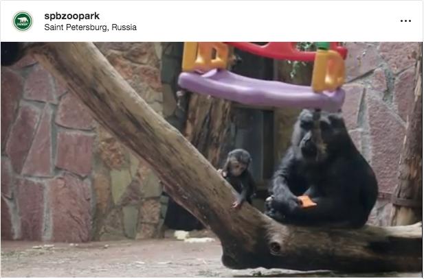 """Такая забавная обезьянка по имени Ная радует посетителей ЛенЗоо. Фото """"Metro"""""""