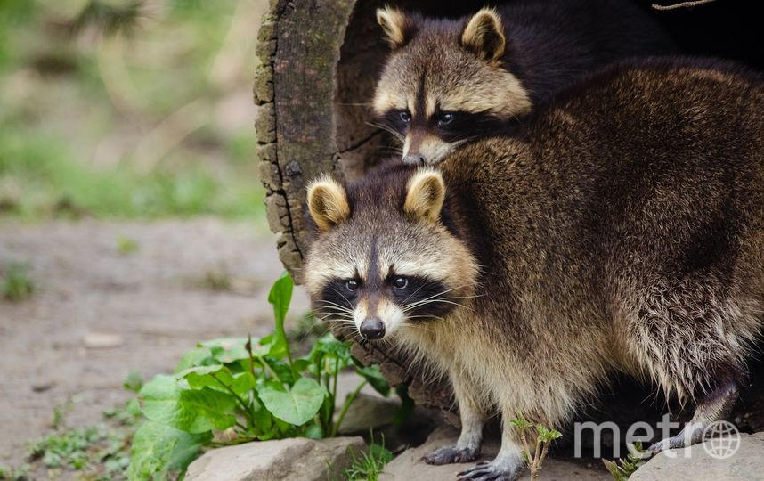Московский зоопарк бьёт тревогу: еноты страдают от ожирения из-за посетителей. Фото pixabay.com