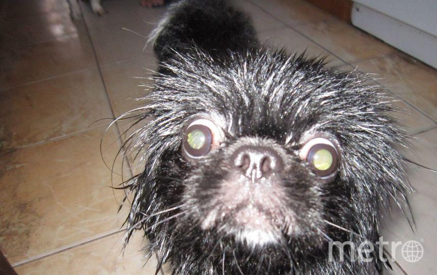 """Это Васька и после душа он превращается в настоящую """"собаку Баскервилей"""". Маленький агрессор. Фото Юлия"""