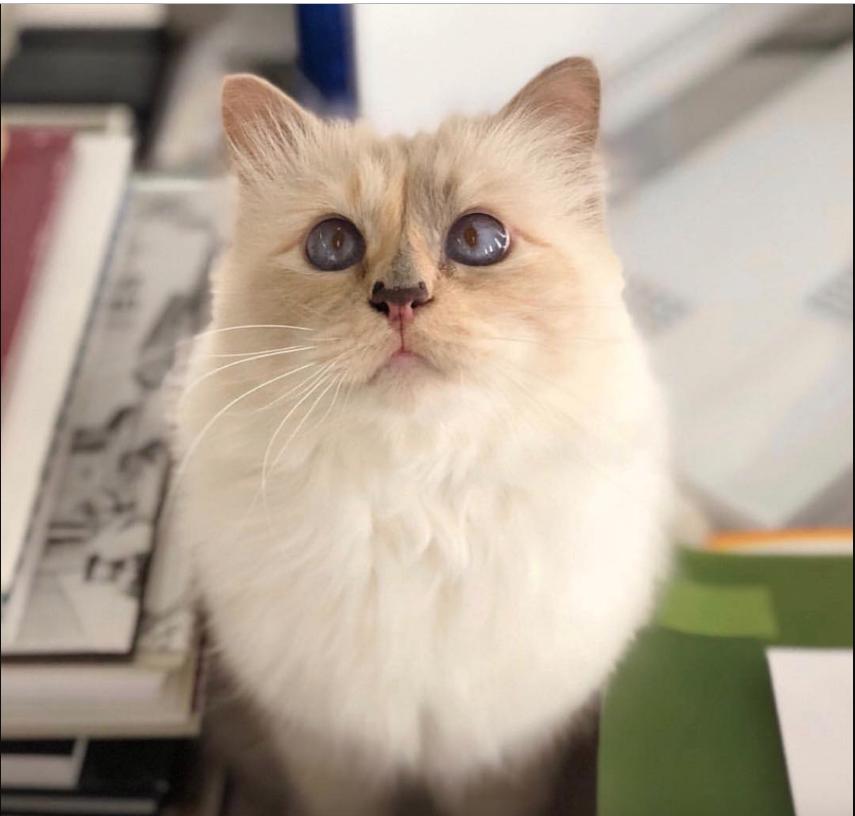 Кошка-модница Шупетт. Фото Скриншот @choupettesdiary