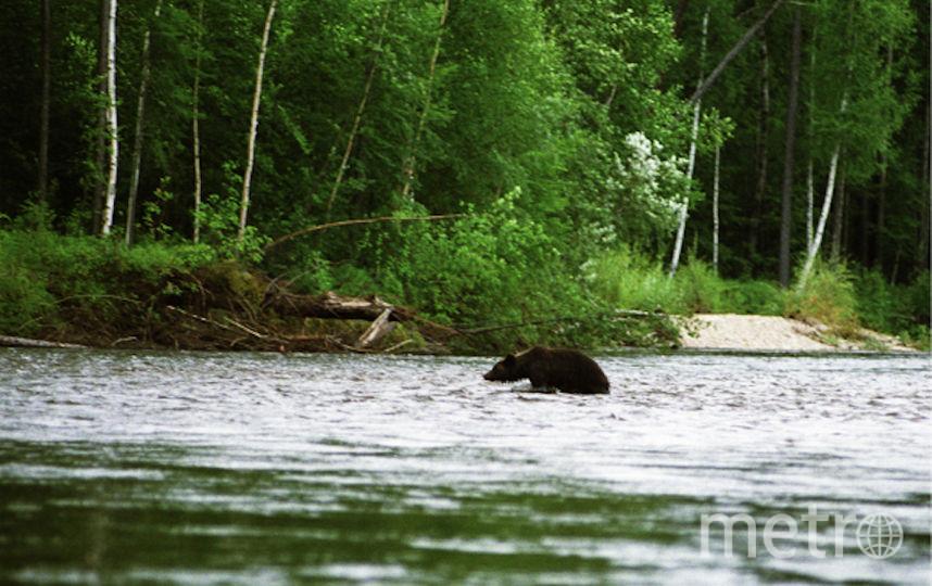 Медведь в Хабаровском крае. Фото РИА Новости