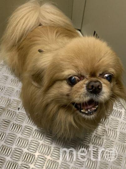 Это Тимон (Тошка). Самый добрый, преданный, верный  и  красивый пекинес. Вот уж действительно по своим повадкам собака китайских королей! Фото Виктория
