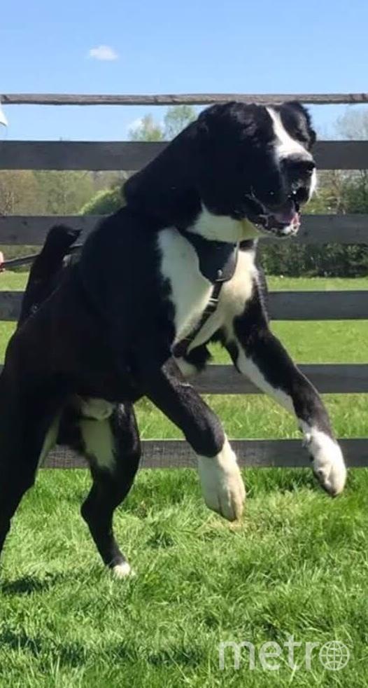 """На фото """"собака Баскервилей"""" по кличке Жаркын. Ему 3 года. Грозный страж и защитник, и милый котик для членов своей семьи и друзей. Обожает ласку и долгие прогулки. Из увлечений - плавание в открытых водоёмах и ловля мышей. Фото Зоя, """"Metro"""""""