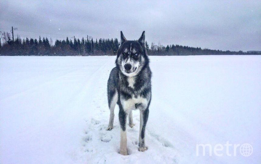 """Это грозный Викинг. Ему 3 года, и он жуткий интроверт. Любит людей, но не других собак. Фото Вера, """"Metro"""""""