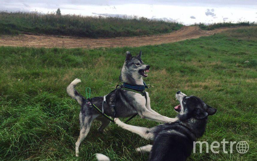 """Викинг любит людей, но не других собак. Кроме своего друга Того. Это у них такие игры. Фото Вера, """"Metro"""""""