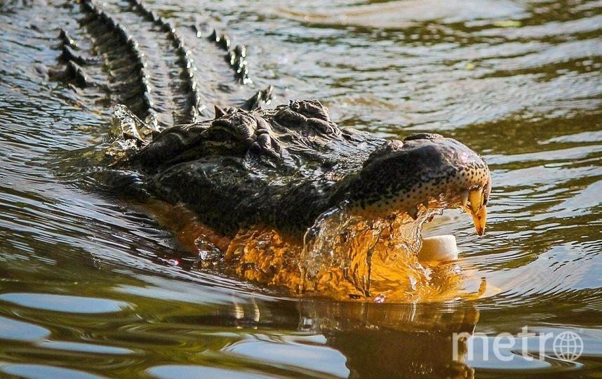 В американском городе Оберндейл аллигатор напал на питбуля на глазах у его хозяйки. Архивное фото. Фото pixabay.com