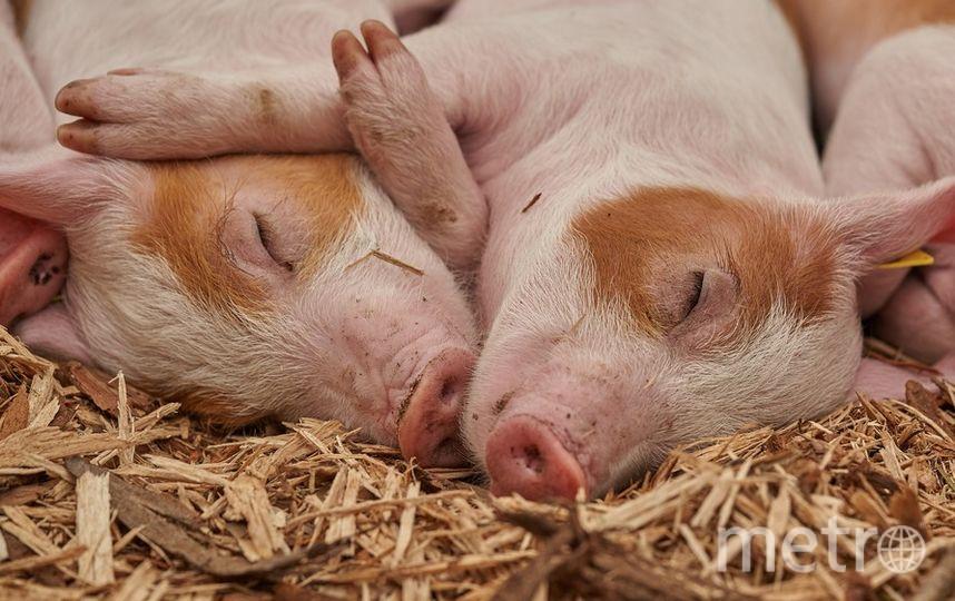 Россельхознадзор вводит временные ограничения на ввоз свинины из Сербии. Фото pixabay.com