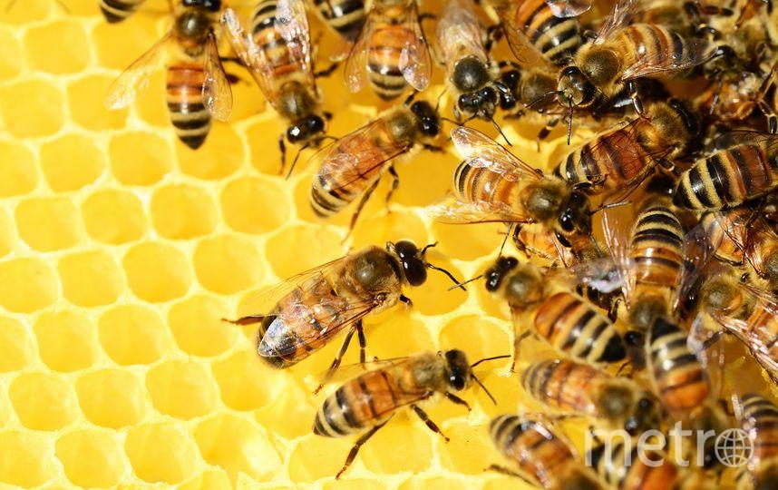 Пчёлы. Фото Pixabay