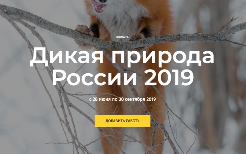 Фотоконкурс «Дикая природа России» - это ежегодный конкурс журнала «National Geographic Россия», проходящий на официальном сайте журнала. Фото скриншот https://nat-geo.ru/