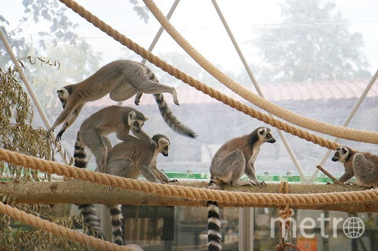 Лемуры. Фото Ленинградский зоопарк, vk.com