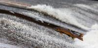 На Аляске массово гибнет лосось